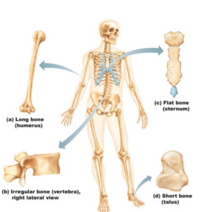 kıkırdak nedir iskelette kıkırdağın önemi